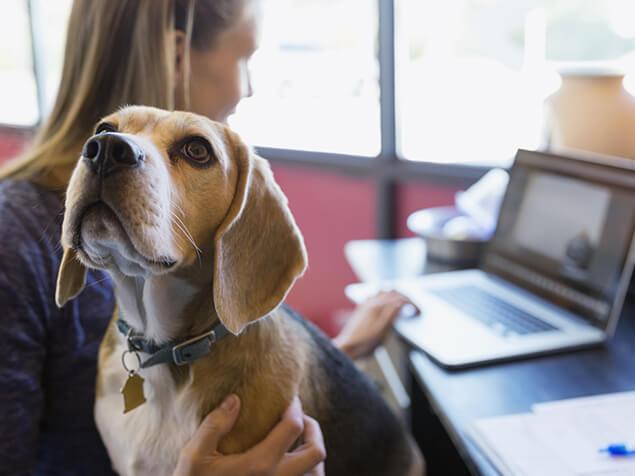 Beagle sitzt auf dem Schoß des Besitzers, während sie arbeitet