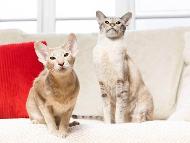 Zwei unterschiedliche Katzenrassen
