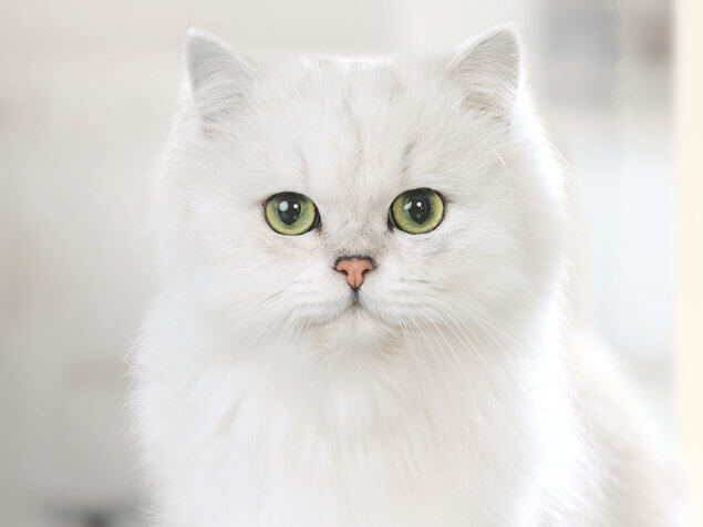 Gourmet white cat