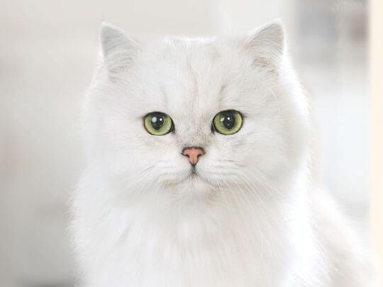 White cat facing the camera