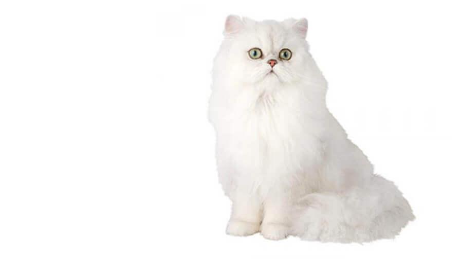 Chinchilla Katze