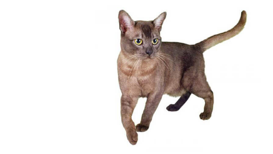 Asian-Katze