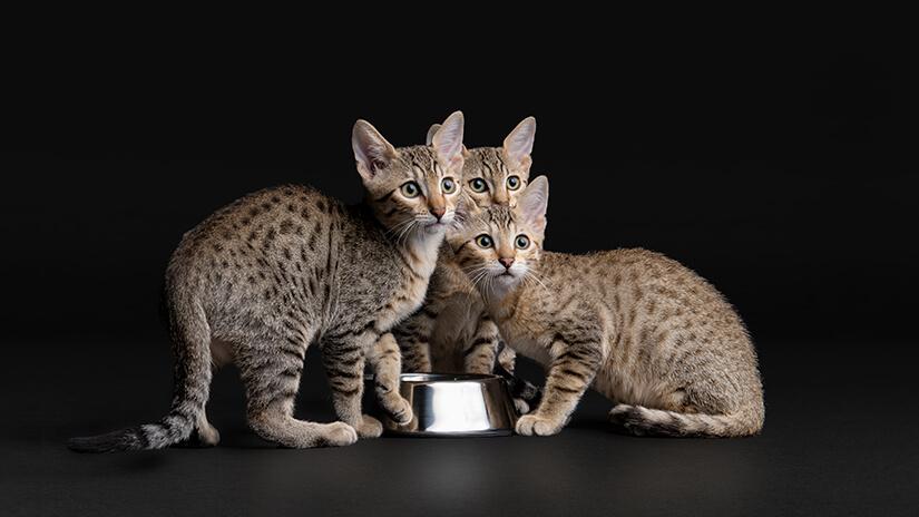 Pro Plan kittens
