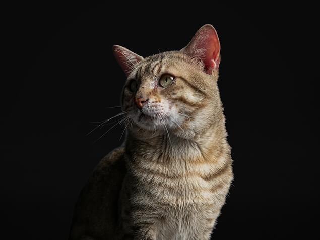 Pro plan cat senior