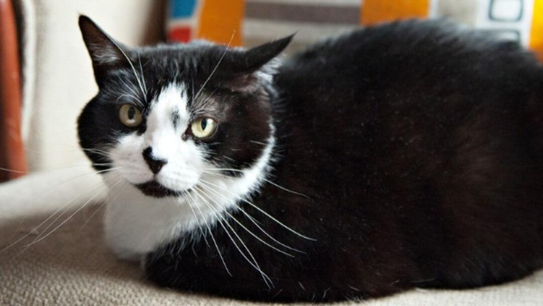Größe katze alter gewicht Bengal