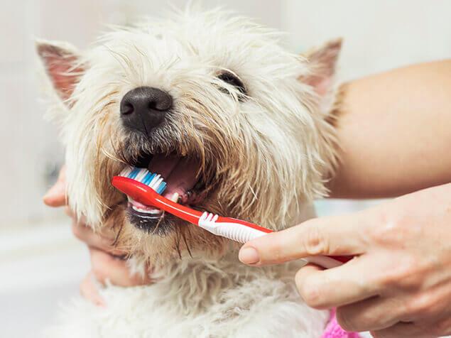 Hund wird Zähne geputzt